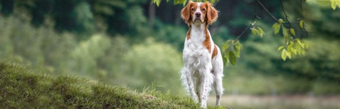 Hersenveroudering bij honden