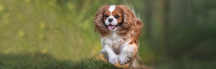 (Chronisch) nierfalen bij honden